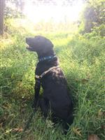 A.J. - Deanna's Service Dog